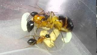 Banded Sugar Ant (Camponotus consobrinus) 20160430