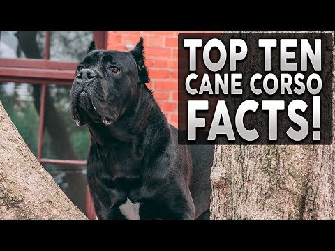 top-10-cane-corso-facts!-why-they're-the-best-breed-on-the-planet!