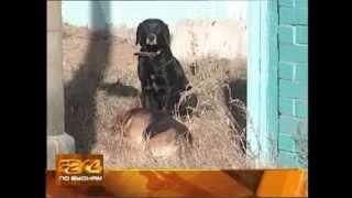 Бродячие собаки держат в страхе жителей посёлка Маркова в Иркутском районе(, 2013-10-25T17:49:59.000Z)
