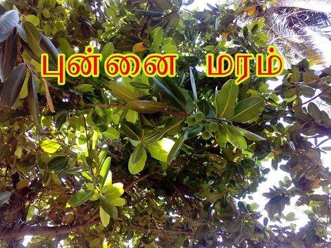 புன்னை மரம் Calophyllum inophyllum - YouTube