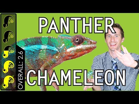 Panther Chameleon, The Best Pet Lizard?