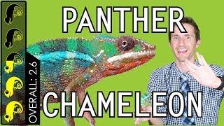 Panther Chameleon, The Best Pet Lizard?