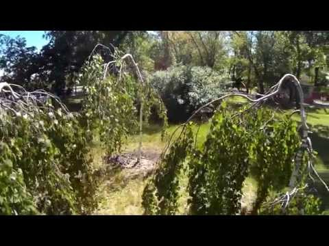 Береза, дерево береза -