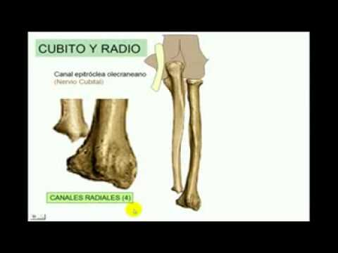 OSTEOLOGIA Miembro superior 4 Diagnostico X - YouTube