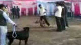 Dogs In Punjab Dog Show