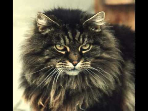 long haired manx cat pictures