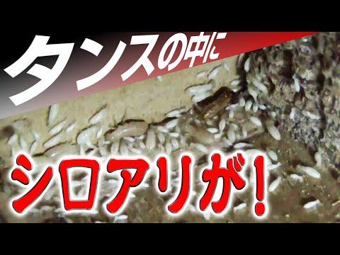 ホウ酸の威力、アメリカカンザイシロアリの駆除