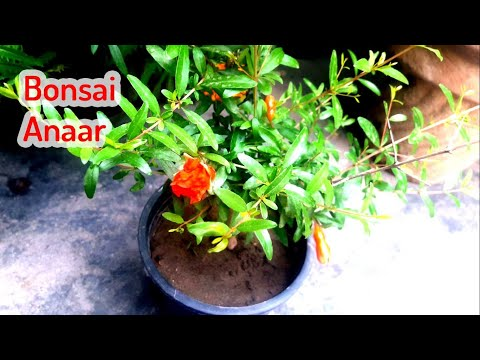 Flowering at bonsai pomegranate tree || fruiting at bonsai pomegranate tree || Pomegranate plant