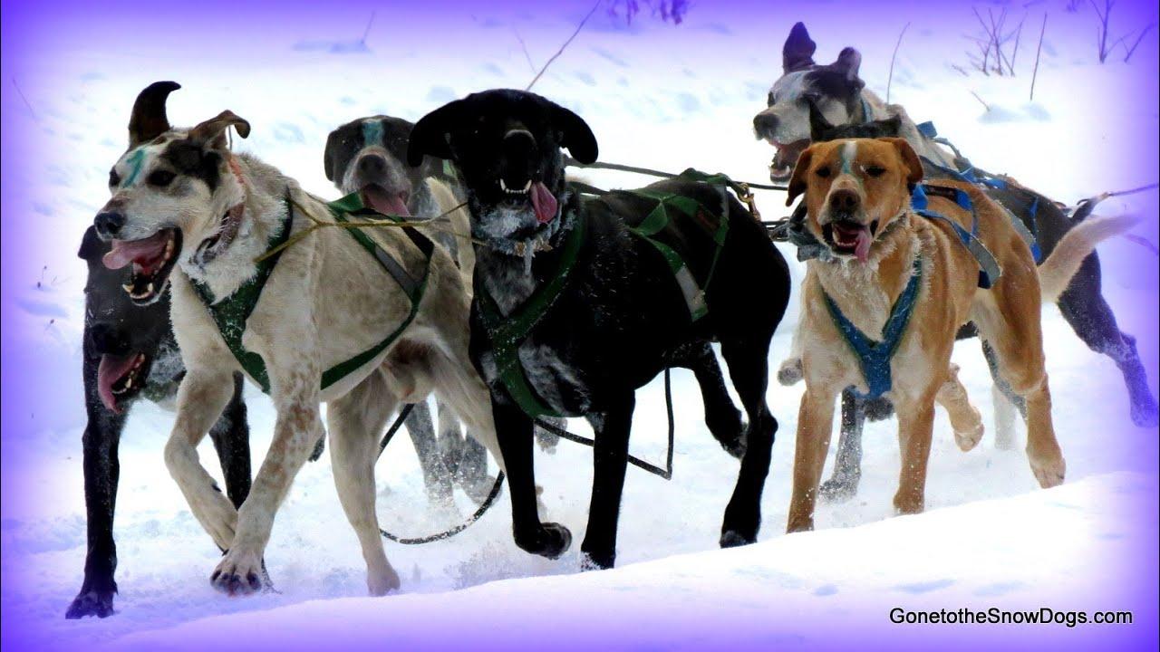 Sled Dog Races 8 Dog Teams Indian River Siberian Husky Dog Sledding   Youtube