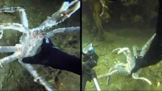 Undervannsjakt på kongekrabbe