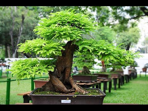 Awesome Photos of Sampalok or Tamarind Bonsai in The Philippines