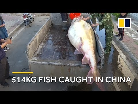 514kg endangered kaluga sturgeon caught in China
