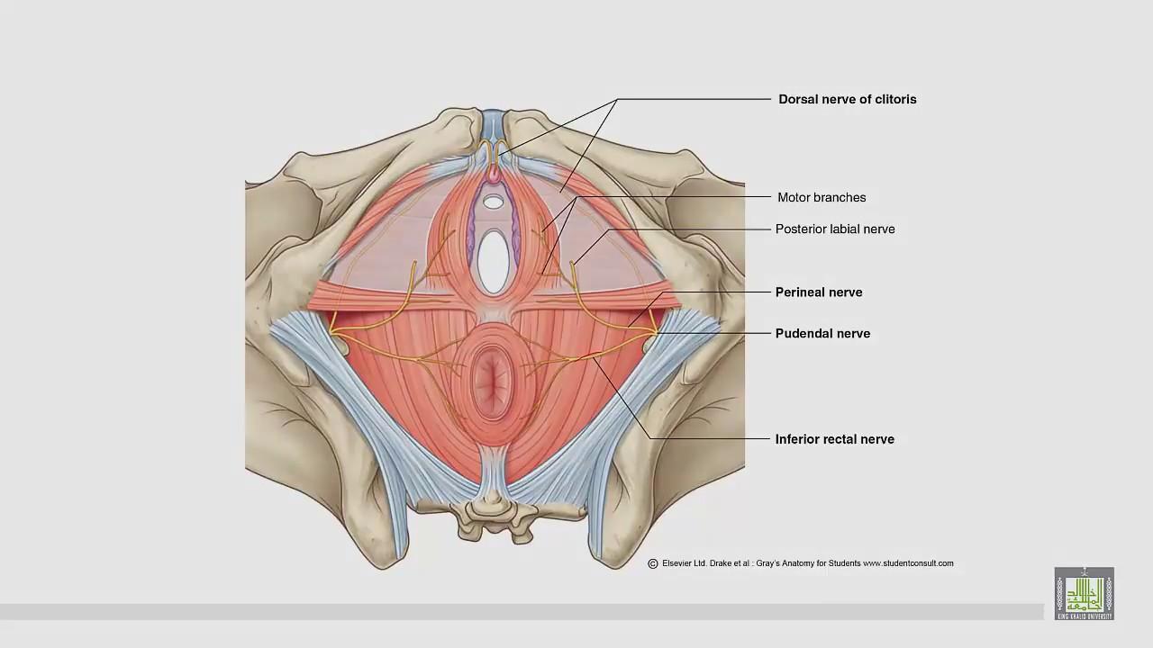 hight resolution of anatomy of perineum