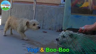 Yogi and Boo-Boo took refuge in a schoolyard and evaded rescue for weeks until...