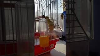 Рокси, тебе удобно?)) Волнистый попугай ест вверх клювом))