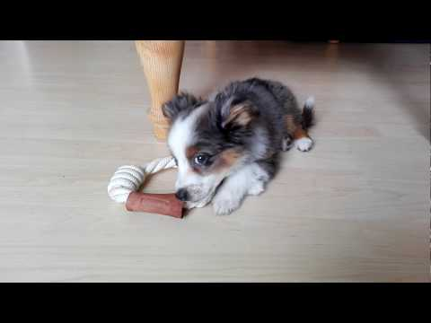 11 week old Miniature Australian Shepherd puppy