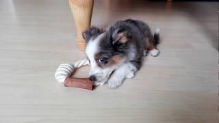 11 week old Miniature Australian Shepherd puppy
