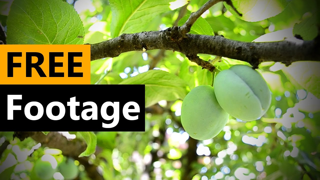 Plum tree compilation - FREE Stock Video Footage [Download Full HD]