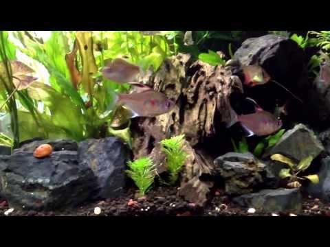 90 Gallon | Discus & Bleeding Heart Tetras Aquarium | Freshwater Low Tech