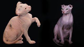 Украинский Левкой, Породы кошек, описание, уход