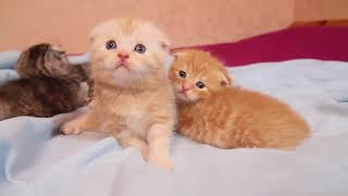МАЛЮСЕНЬКИЕ шотландские котята КЛУБОЧКИ ПОЗИТИВА в питомнике Афина !