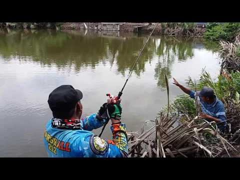 steady-pull-giant-travelly-fishing-casting-technique-in-pond-delta-mahakam---east-borneo