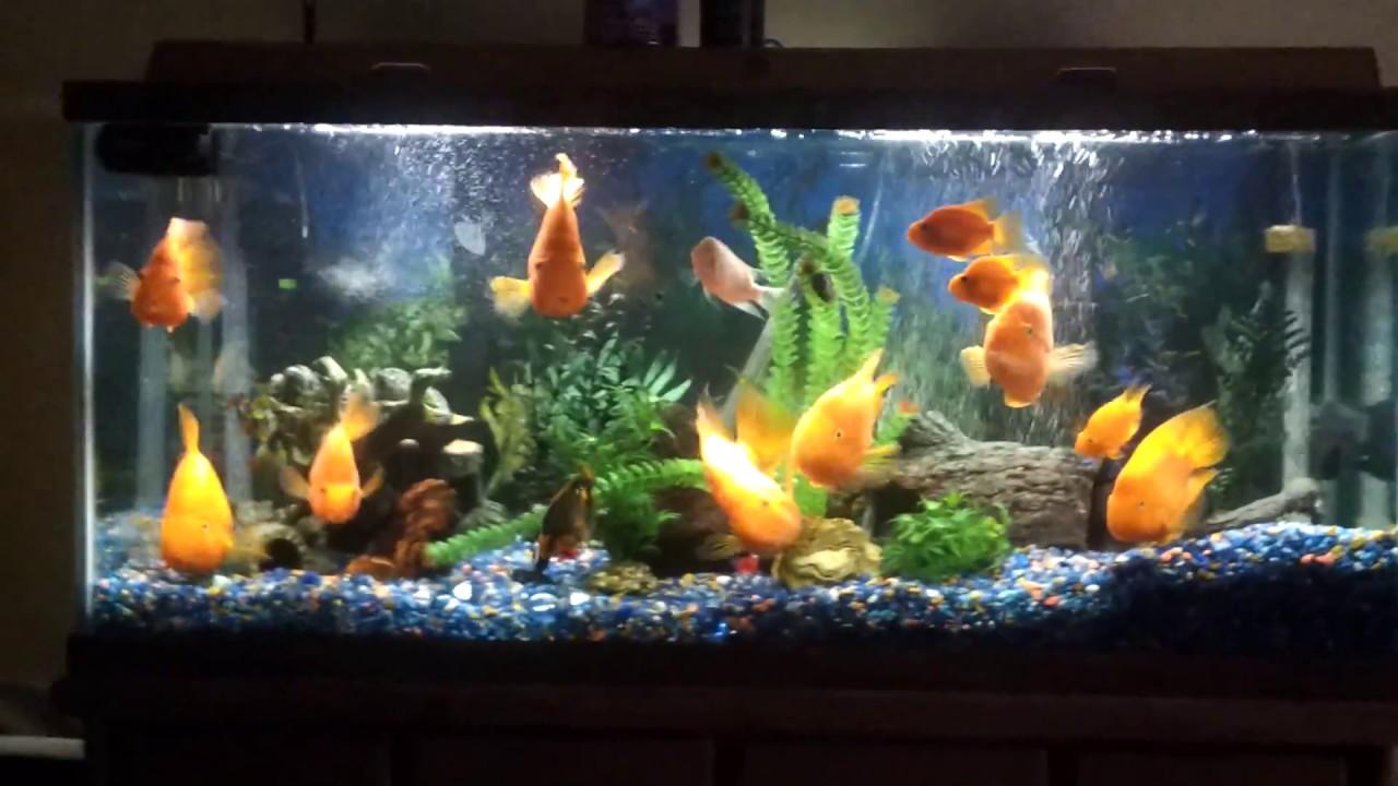 Freshwater aquarium fish cichlids - Parrot Cichlid Tank By Jgrimes