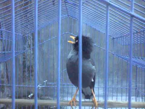 Bhulu burung jalak mantap
