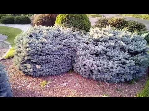 Карликовые сорта хвойных растений и особенности их выращивания