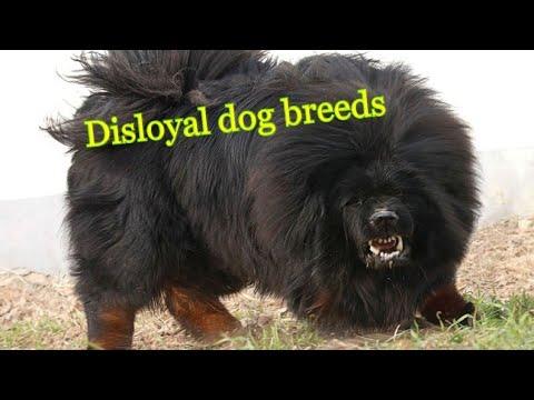 Most Disloyal dog breeds by Dog tubed.