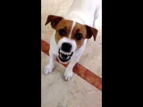 Jack russell arrabbiato youtube - Jack russel queue coupee ...