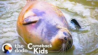 Tiny Lost Seal Grows Up To Be Blubbery And Hilarious   The Dodo Comeback Kids