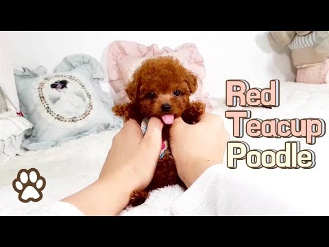 Red toy poodle teddy bear - Teacup puppies KimsKennelUS