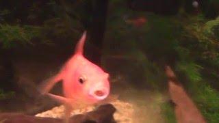 Золотая рыбка - достаем камень