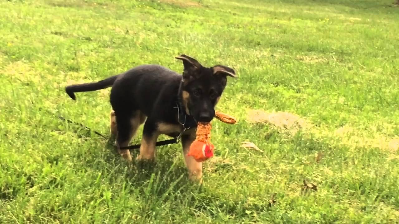 german shepherd with floppy ears floppy ears on german shepherd puppy youtube 9738