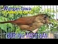 Tembakan Burung Flamboyan Gacor Masteran Murai Juara Pancingan Flamboyan Buka Paruh Wergan Jawa  Mp3 - Mp4 Download