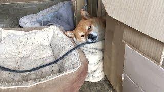ダンボールハウスから顔だけ出して昼寝する柴犬  Shibe was sleeping with his head out of the cardboard house.