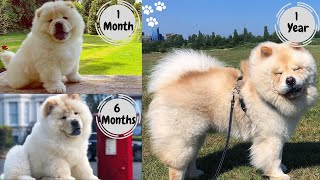 Chow Chow growing up growing up 112 months | chow chow puppy to full grown | Chow Chow Dog Breed