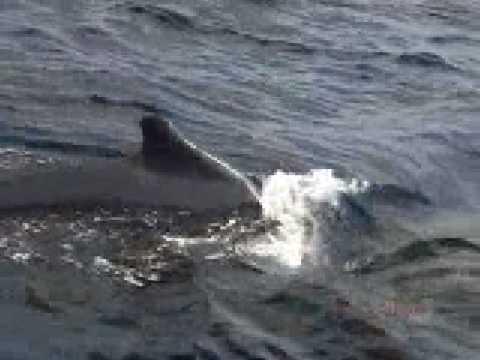 Whale Watch on the Alii Nui sailing Catamaran on Maui