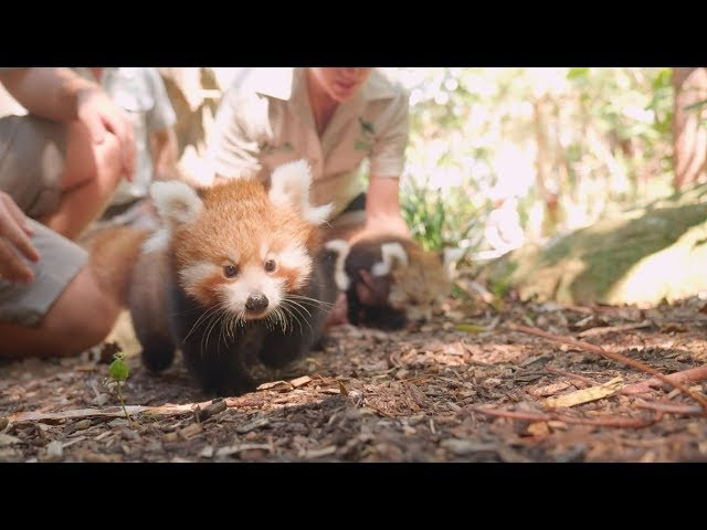 Red Panda Triplets at Taronga Zoo