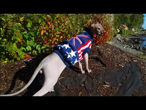 My lovely sphynx cat loves to go for a walk with me / DonSphynx /