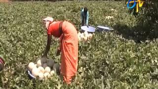 Profitable Muskmelon cultivation by Kadapa farmer
