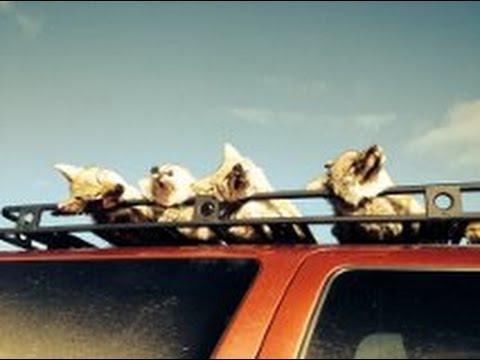 Rack Em & Stack Em! Coyote Hunting Nevada