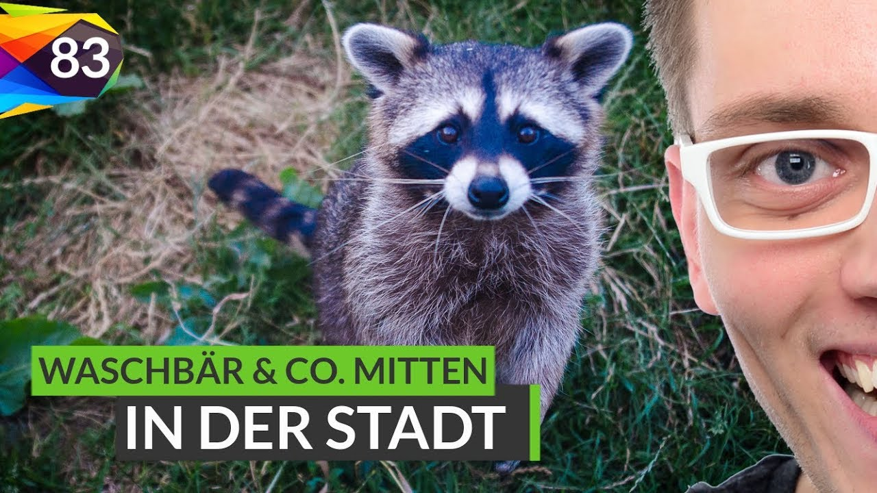 wildtiere mitten in der stadt wie reagieren marder fuchs waschb r tipps folge 83 youtube. Black Bedroom Furniture Sets. Home Design Ideas