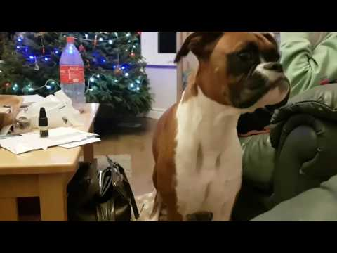 Boxer dog throws a random Tantrum?