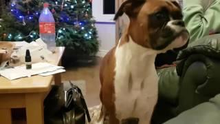 Boxer dog throws a random Tantrum?