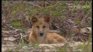 Dingo attack