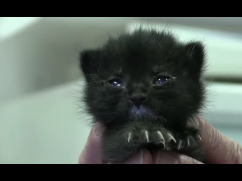 Orphan kitten receives first meal since it was found thanks to Kitten Triage Project