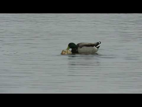 Male Mallard x female domestic duck