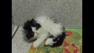 Бело- черный персидский котенок